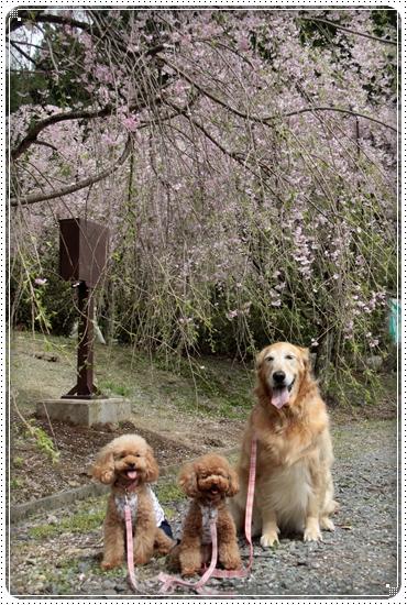 2011,5,2枝垂桜3