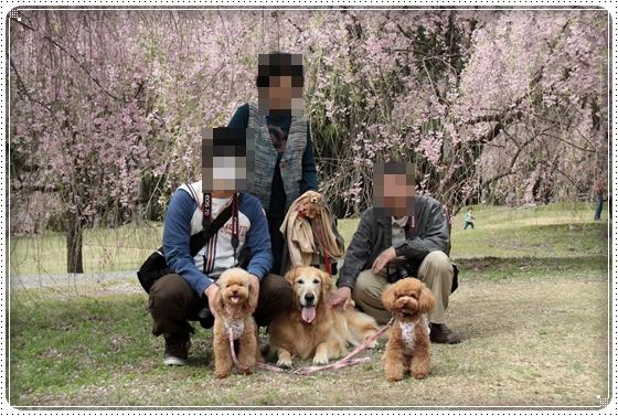 2011,5,2枝垂桜1