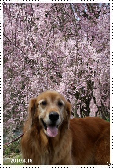 2011,5,2枝垂桜9