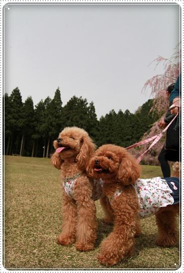 2011,5,2枝垂桜8