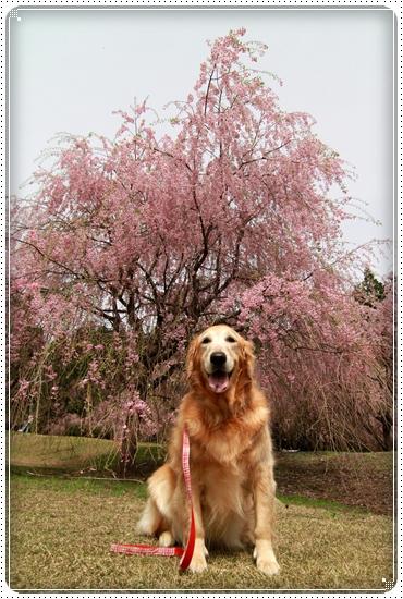 2011,5,2枝垂桜7