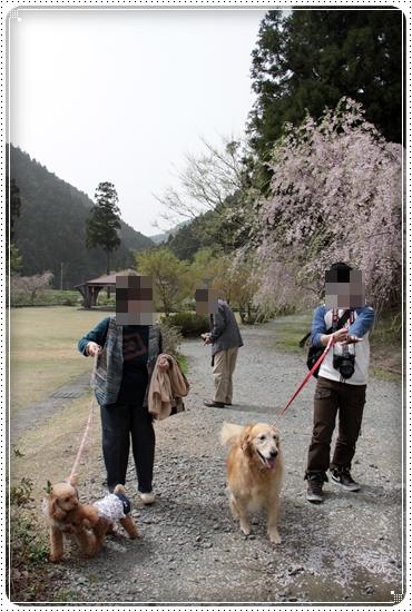 2011,5,2枝垂桜11