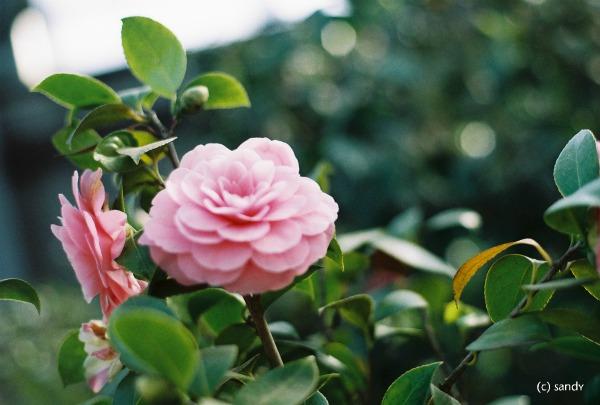 om-camellia01.jpg