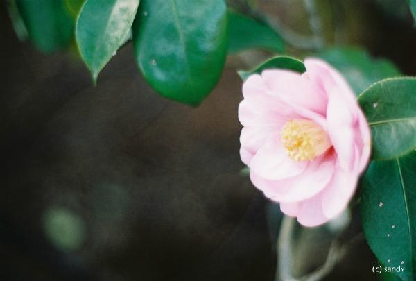 om-camellia02.jpg