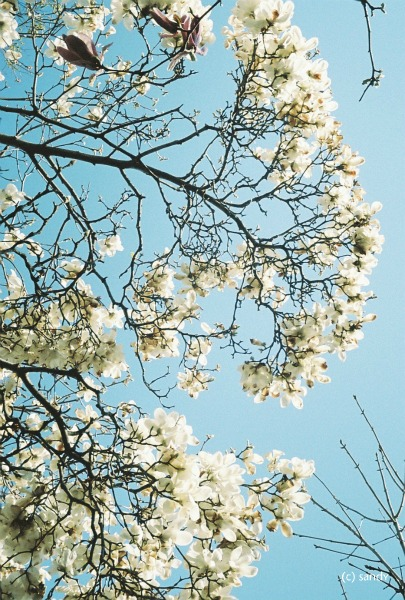 pen-magnolia.jpg