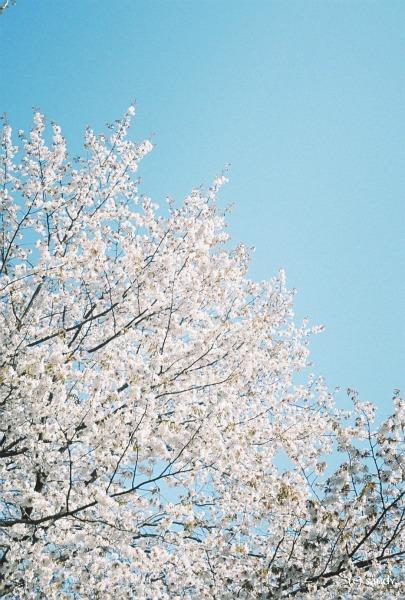 pen-sakura.jpg