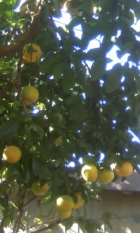 101206_101921柑橘
