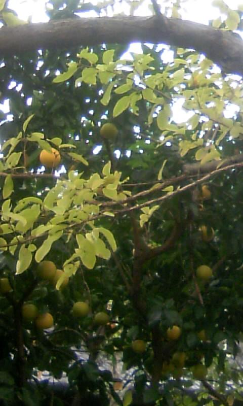 101207_085421ナンジャモンジャの葉&柑橘