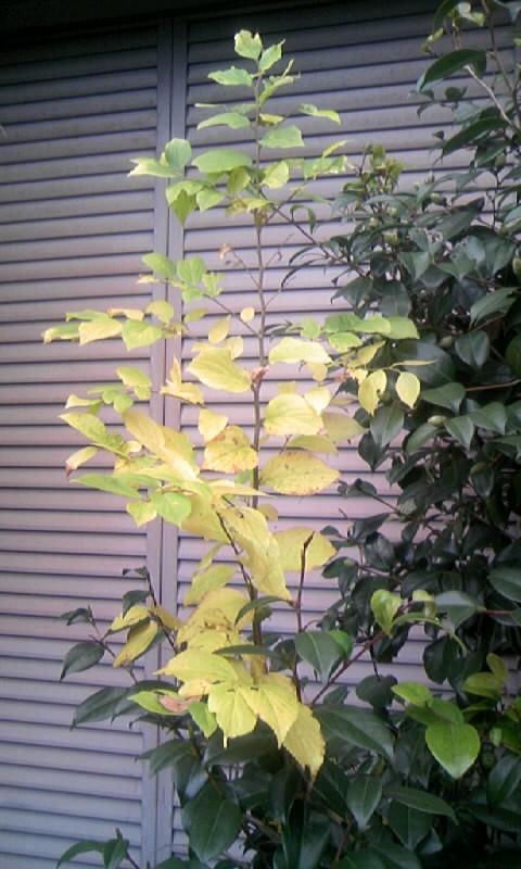 101209_075559椿の黄葉
