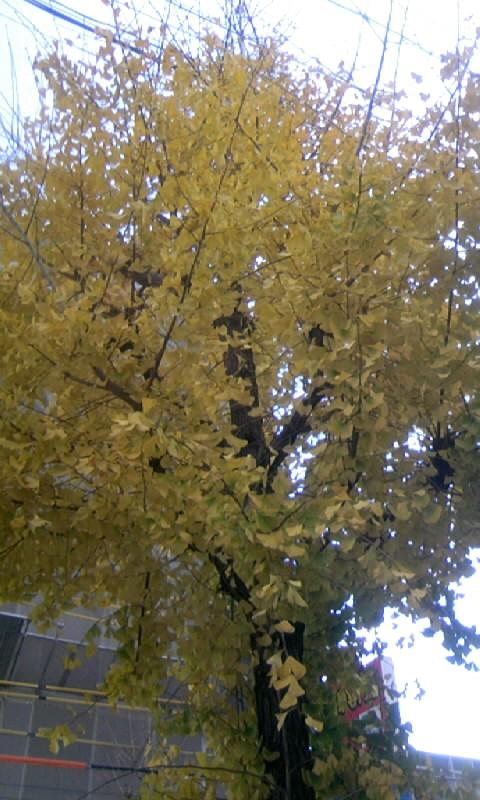 101209_131425銀杏の黄葉