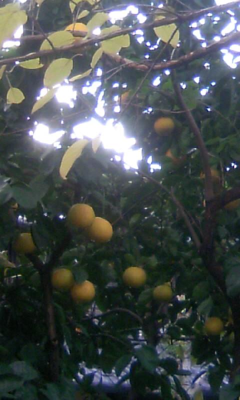 101214_090043柑橘
