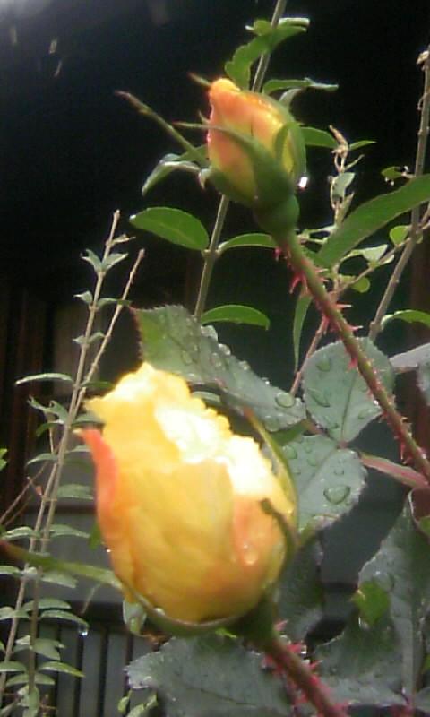 101220_092408薔薇のつぼみ