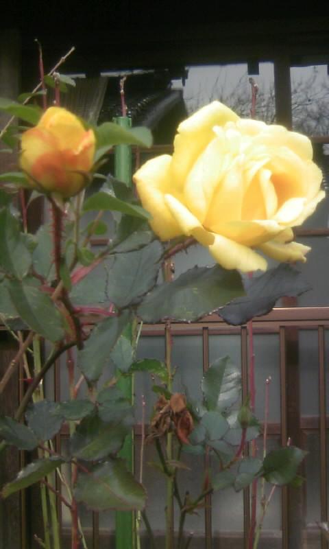 101226_122043黄色い薔薇