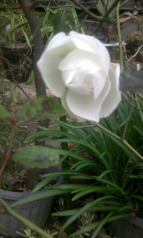 101226_122058白薔薇