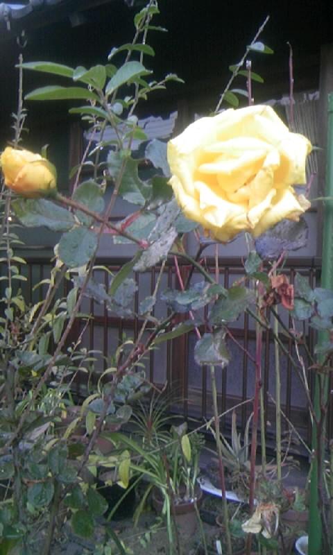 101229_075041黄色い薔薇