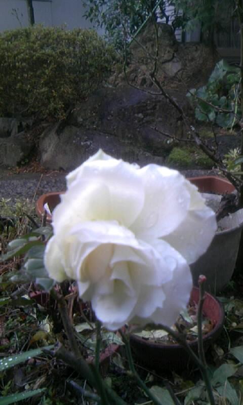 101229_075103白い薔薇