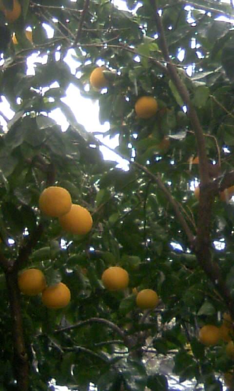 101231_091450柑橘