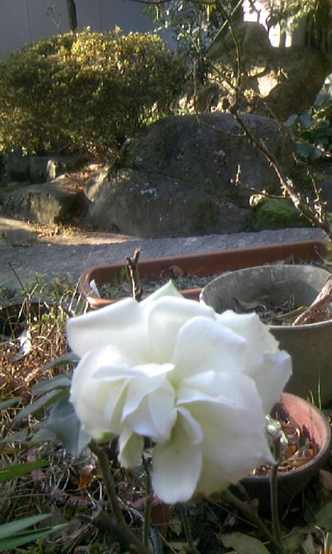 110103_085820白薔薇