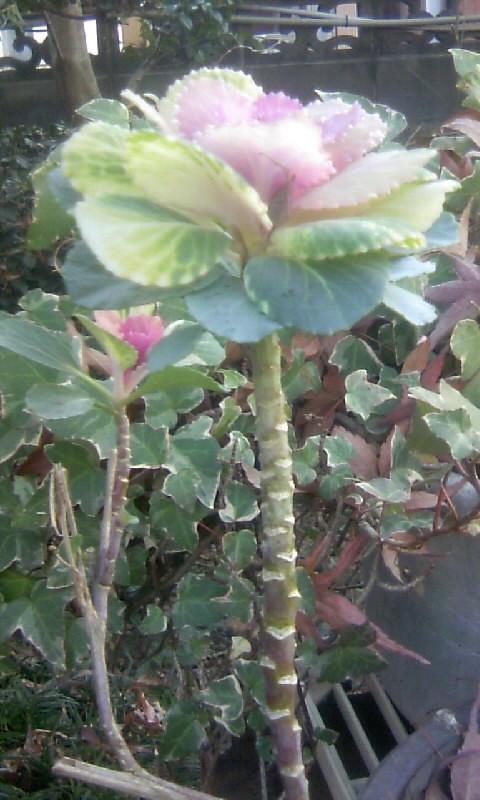 110103_090321一昨年の葉牡丹