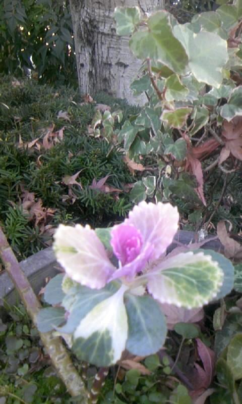 110108_091524一昨年の葉牡丹