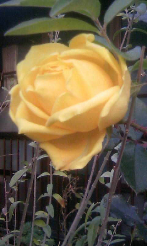 110109_074009黄色い薔薇