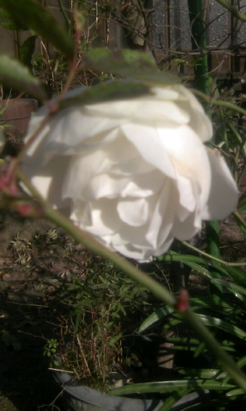 110109_094828白薔薇