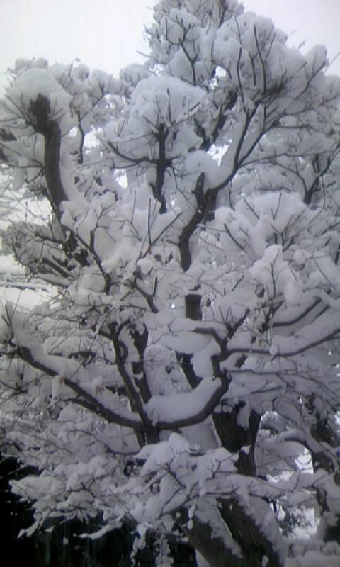 110117_071536雪のモミジ
