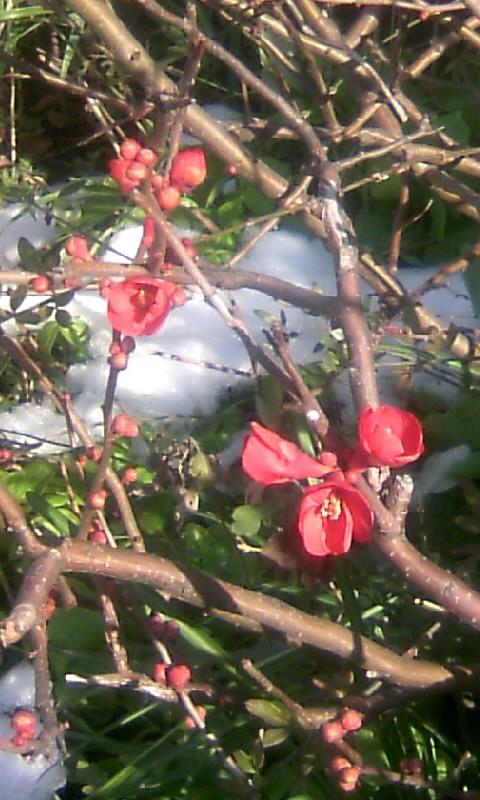 110118_113320木瓜の花