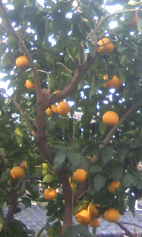 110122_080823柑橘