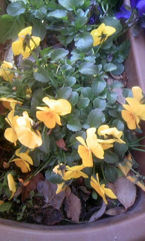 110125_102519黄色いビオラ