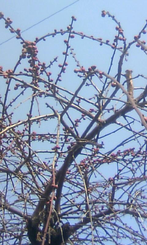 110209_133902枝垂れ梅の蕾