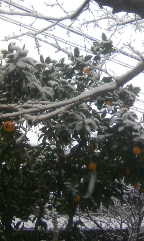 110211_093026柑橘に雪
