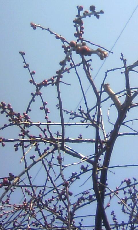 110213_111953枝垂れ梅の蕾