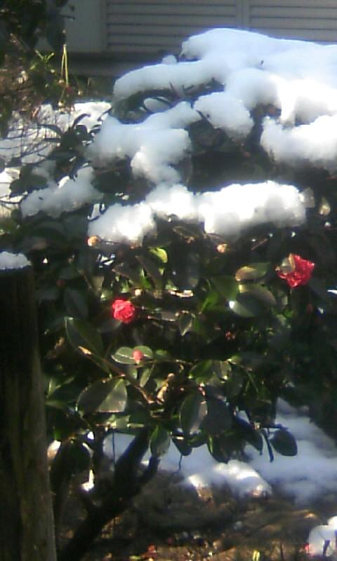 110215_095745雪・山茶花