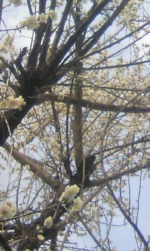 110223_144203果樹園の食用梅