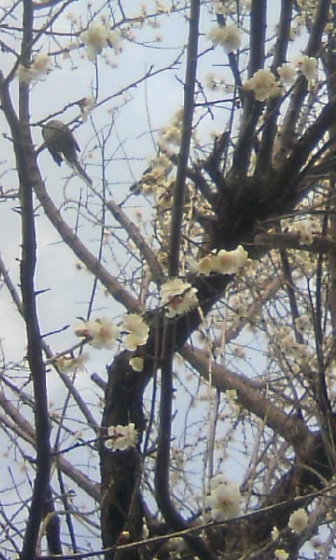 110223_144225果樹園の食用梅