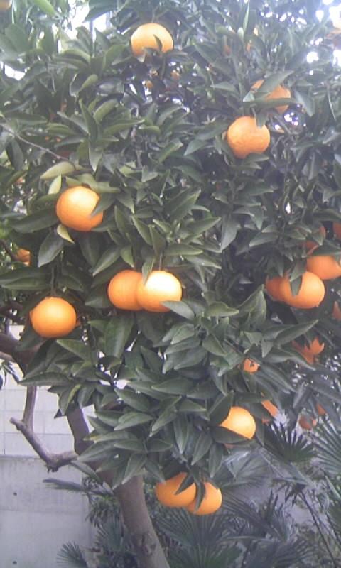 110223_144555柑橘