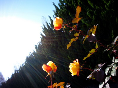 rose01_サイズ変更