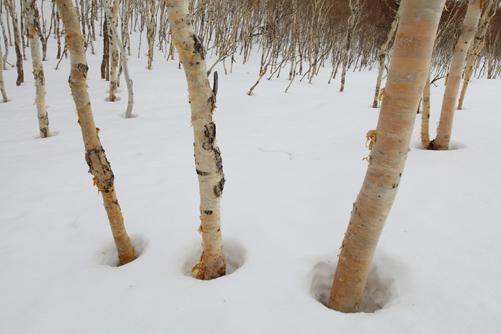 白樺の木立