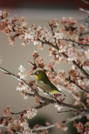 桜にウグイス