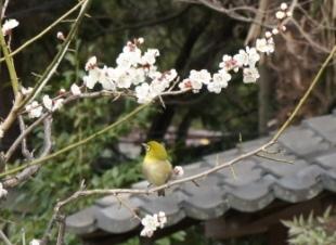 2011梅の木とメジロ