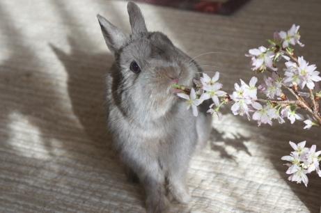 うめ様桜にニオイつけ