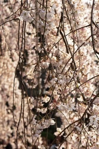 2011御苑・枝垂れ桜③