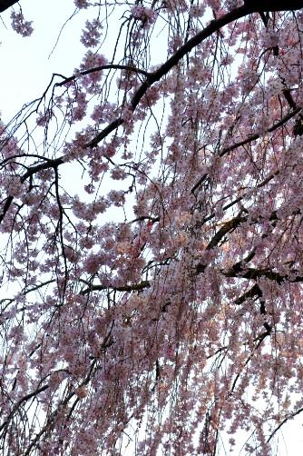 2011御苑・枝垂れ桜