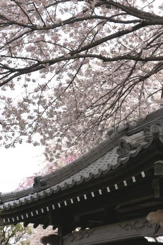 20100410さくら④