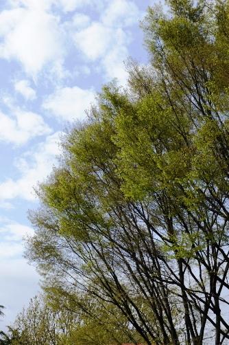 2011桜が終わると若葉