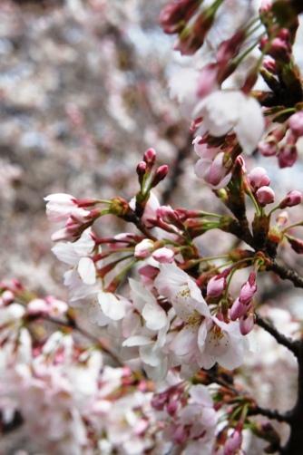 2011世田谷美術館の桜