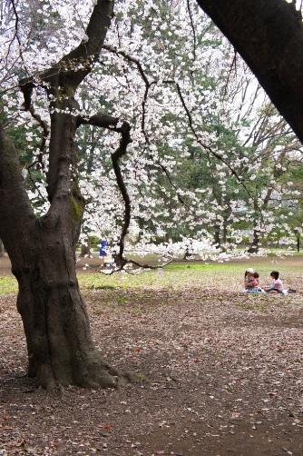 2011芦花公園で花見