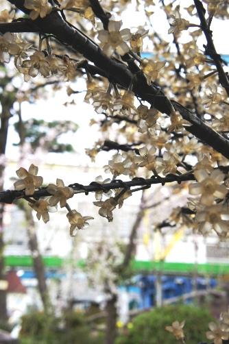 花やしきガラスの桜