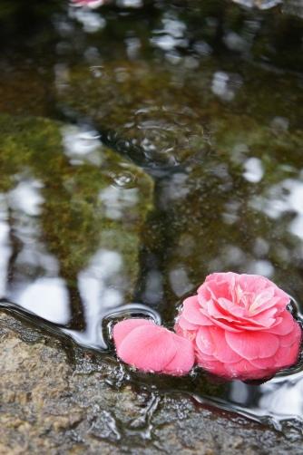 乙女椿と湧水